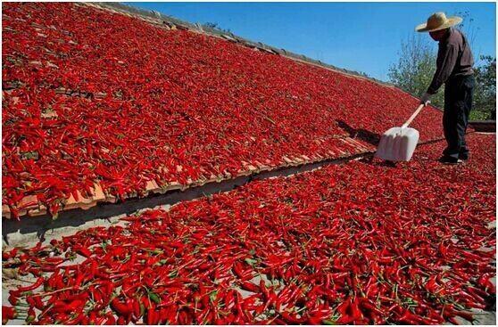 sichuan chilli harvest.jpeg